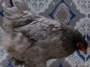 Poule Brahma Huppé Croisé   دجاج براهما